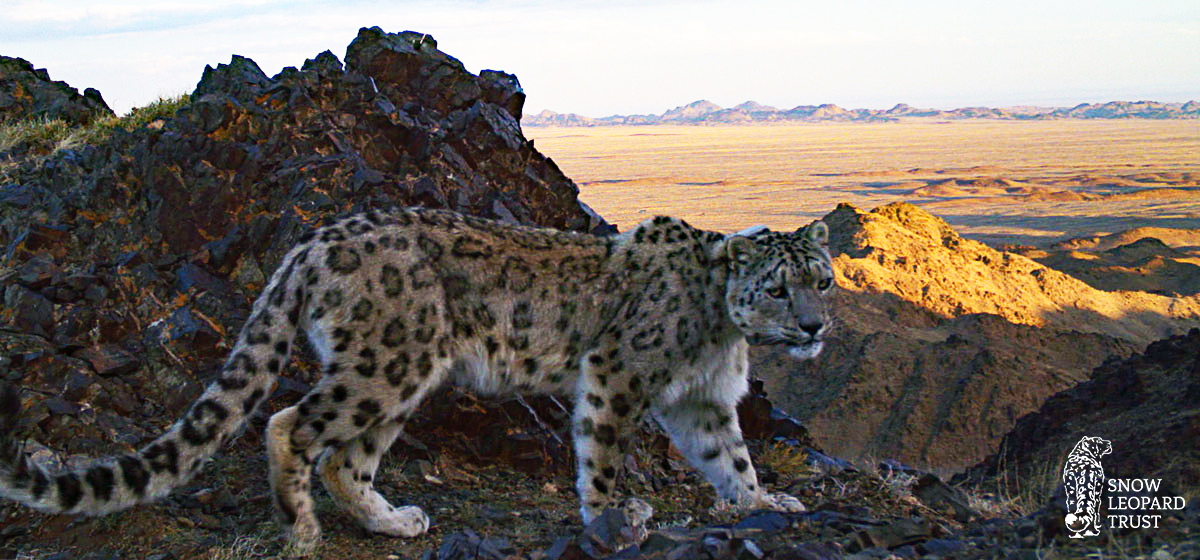 Snow-leopard-in-Tost-web